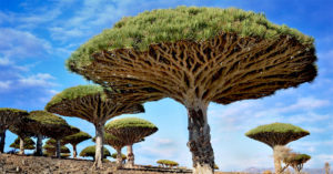 Драконово чудо-дерево, Йемен